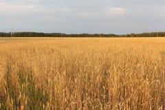 反对天空的金黄麦田在秋天 图库摄影