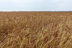 反对天空的金黄麦田在秋天 库存照片