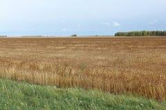 反对天空的金黄麦田在秋天 免版税库存图片