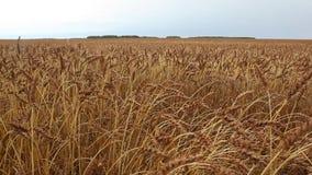 反对天空的金黄麦田在秋天 影视素材