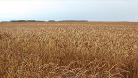 反对天空的金黄麦田在秋天 股票录像