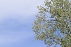 反对天空的银色白杨树 最近开花的芽和年轻l 免版税图库摄影