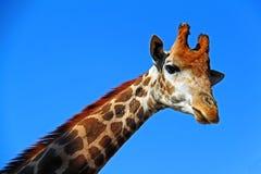 反对天空的长颈鹿 库存照片