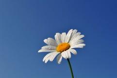 反对天空的雏菊 免版税库存图片