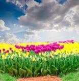 反对天空的紫色和黄色郁金香与云彩 库存图片