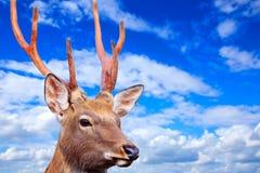 反对天空的Sika鹿 免版税库存照片