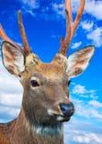 反对天空的Sika鹿 免版税库存图片