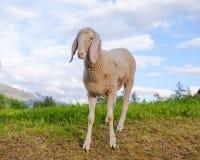 反对天空背景的一只绵羊 库存照片