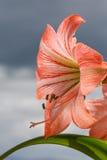 反对天空背景的Amarilis花 库存照片