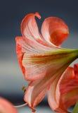 反对天空背景的Amarilis花 免版税库存图片