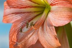 反对天空背景的Amarilis花 免版税图库摄影