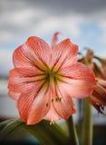 反对天空背景的Amarilis花 免版税库存照片