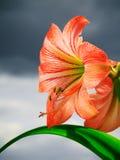 反对天空背景的Amarilis花 库存图片