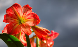 反对天空背景的Amarilis花 图库摄影