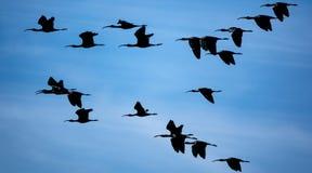反对天空蔚蓝的光滑的朱鹭小组飞行 库存照片