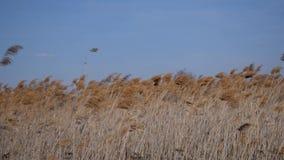 反对天空蔚蓝的干燥芦苇 影视素材