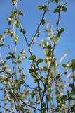 反对天空蔚蓝的开花的树枝 免版税库存图片