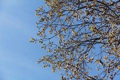 反对天空蔚蓝的柳树 免版税库存图片