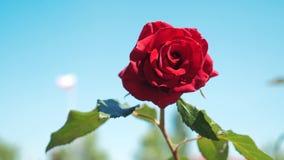 反对天空蔚蓝的玫瑰红的花 自然与生活方式绿色的花留下美丽的花 股票录像