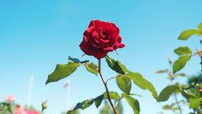 反对天空蔚蓝的玫瑰红的花 自然与绿色叶子美丽的生活方式花的花 股票视频