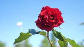 反对天空蔚蓝的玫瑰红的花 自然与绿色叶子美丽的花的花生活方式 股票视频