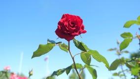 反对天空蔚蓝的玫瑰红的花 自然与绿色叶子美好的花生活方式的花 股票录像