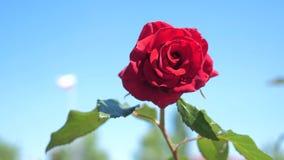 反对天空蔚蓝的玫瑰红的花 自然与绿色生活方式的花留下美丽的花 影视素材