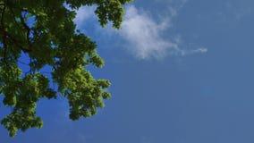 反对天空蔚蓝的绿色橡树叶子 反对天空和云彩的橡树 股票录像