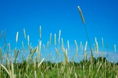 反对天空蔚蓝的草 免版税库存照片