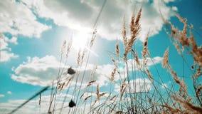 反对天空蔚蓝风景行动秋天的干草干燥反对在背景生活方式自然的天空蔚蓝分支 股票视频