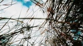 反对天空蔚蓝风景行动秋天的干草干燥反对在背景自然的天空蔚蓝分支 秋天 影视素材