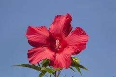 反对天蓝色的天空的明亮的红色木槿开花 库存图片
