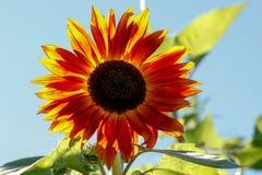 反对太阳的向日葵 免版税图库摄影