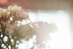 反对太阳的白花 免版税库存照片