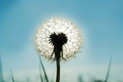 反对太阳的美丽的光亮的蒲公英 背景蓝色云彩调遣草绿色本质天空空白小束 图库摄影