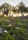 反对太阳的美好的日落在Evia海岛上的橄榄色的庭院里在希腊 图库摄影