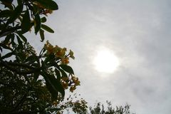 反对太阳的Frangapani 免版税库存图片