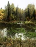 反对密集的秋天森林的忧郁沼泽 库存照片