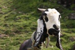 反对山背景的山羊 免版税图库摄影