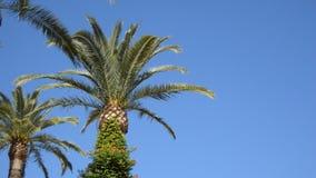 反对干净的蓝天的大棕榈树 股票视频