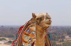 反对开罗都市风景的骆驼  图库摄影