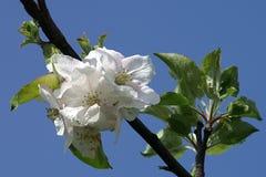 反对新鲜的年轻苹果开花的地狱蓝天 免版税库存照片