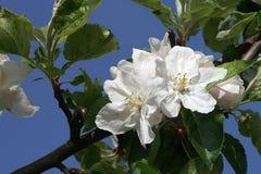 反对新鲜的年轻苹果开花的地狱蓝天 免版税库存图片