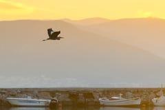 反对日落和渔船的黑苍鹭飞行在纳夫普利翁沼泽地在希腊 图库摄影