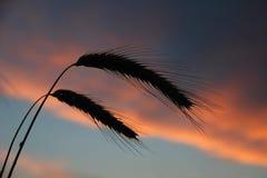 反对日落天空的两个剪影耳朵 免版税库存图片
