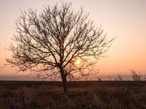 反对日落天空的孤立树 库存图片