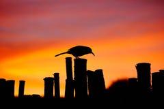 反对日落的一只鸟 库存照片