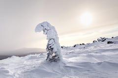 反对日落的唯一积雪的常青树 库存图片