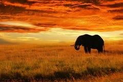反对日落的孤独的大象在大草原 Serengeti国家公园 闹事 坦桑尼亚 库存图片