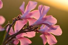 反对日落的桃红色花 库存图片